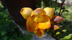 Fressia DSC01999 (omirou56) Tags: flowers nature sunshine garden shadows greece peloponnese peloponnisos fressia peloponisos ελλαδα λουλουδια φυση κιτρινο αχαια πορτοκαλι ελλασ πελοποννησοσ κηποσ αιγιο σκιεσ sonydschx9v φρεζα