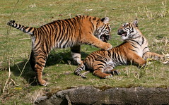 Yelping Tiger Whelps (Ger Bosma) Tags: playing cub tiger young getty cubs tess sumatrantiger juvenile tijger playful tigress youngsters whelp sumatratiger nonja pantheratigrissumatrae sumatraansetijger whelps tigredesumatra tigredisumatra tygryssumatrzaski  2mg94171