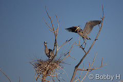 March 21, 2015 - Great Blue Heron setup their summer home in Lakewood. (Bobby H)