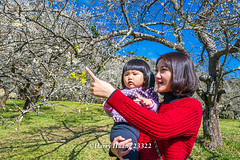 Harry_23322,,,,,,,,,,,,,,,,,,,,,,,Plum,Plum Tree,Tree,Fruit,Farm (HarryTaiwan) Tags: tree fruit nikon farm plum taiwan     plumtree  d800                       harryhuang  hgf78354ms35hinetnet adobergb