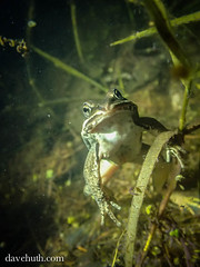Wood Frog (Rana [Lithobates] sylvatica) - underwater (DaveHuth) Tags: ny underwater amphibian frog houghton woodfrog ranasylvatica tg3 anuran gaertepond