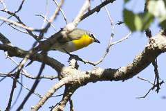 Yellow-breasted Chat (christopheradler) Tags: california yellowbreastedchat icteriavirens