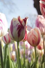 _MG_4289 (Gkmen Kmrt) Tags: flower tulip 2015 emirgan laleler