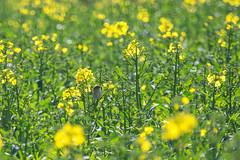A chiffchaff in a rape field (Richard Holding) Tags: bird field yellow jaune rape campagne printemps oiseau champ colza chiffchaff pouillot