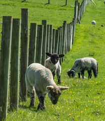 Little Black Face (tubblesnap) Tags: west spring day fuji sheep feeding eating yorkshire sunny lamb dales suuny silsden xs1
