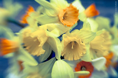 Daffodils.  My way (foto99) Tags: blue lensbaby spring colorful soft vibrant seasonal bulbs cheerful multicolored daffodils narcissus jonquil copyright2015liviagaffield