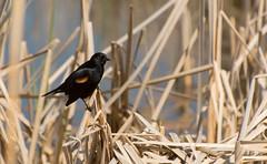 DSC_7558 (Keztik) Tags: male bird reeds reflex pond nikon  swamp dslr marais blackbird oiseau roseaux tang redwinged agelaius carouge quenouille stfrancois phoeniceus d3200 paulettes