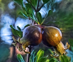 Twinsies-HCS! 198/366 (Jo Zimny) Tags: two tree leaves fruit twins bokeh pomegranates growing primordial inthebackyard day198366 clichesaturday 366the2016edition 3662016 16jul16