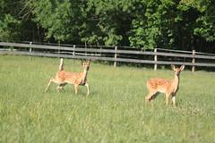 IMG_9227 (thinktank8326) Tags: nature wildlife deer spots fawn whitetaileddeer babyanimal