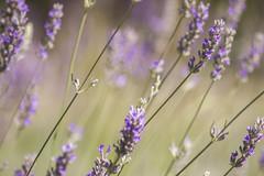 _MG_1792 (Arthur Pontes) Tags: flower green primavera nature field insect spring natureza flor deep bee abelha mosquito inseto campo deepoffield lavanda plem
