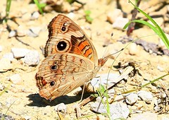 buckeye near Kendallville Park IA 854A2886 (lreis_naturalist) Tags: park county butterfly reis iowa larry buckeye kendallville winneshiek
