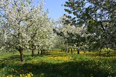 ckuchem-1288 (christine_kuchem) Tags: wiese blte frhling lwenzahn obstbaum frhjahr obstbume streuobstwiese streuobst bltezeit streuobstwiesenweg
