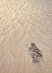 Presents From The Sea (Fiona Smith (Prev. Fiona McAllister Photography)) Tags: seaweed kelp algae plant nature englishlandscape england seashore seaside seascape sand texture pattern naturalengland solway solwaycoast solwayphotography solwayfirth cardurnock cumbria coast coastline coastal cumbriacoast cumbriacoastline beach britishcoast marine conservation northwestengland northwestcumbria allerdale fionamcallisterphotography fionasmithphotography sandpattern solwayfirthpartnership solwayaonb
