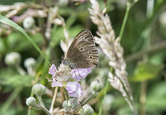 Ringlet at rest (David Feuerhelm) Tags: nikkor nature outdoor insect butterfly brown d7100 essex england woodland nikon