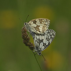 Marbled whites (farms 62) Tags: marbledwhite