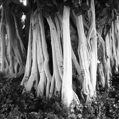 Fig tree (RosinaOz) Tags: tree australia monochrome copyrightchristinedennis fig
