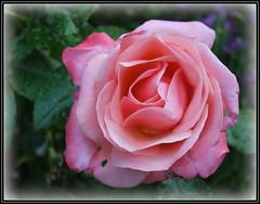 P1150049 Silver Jubilee rose (hartley_hare7491) Tags: rose silver jubilee