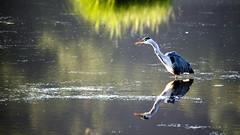 Heron Fishing (Ian Livesey) Tags: heron leightonmoss rspb flickr bird water fishing morning lancashire silverdale