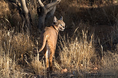 012-Caracal_006 copy (Beverly Houwing) Tags: africa sunlight face grass cat feline namibia carcal