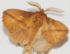 Drinker (Euthrix potatoria) (bramblejungle) Tags: moth insect lepidoptera drinker euthrix potatoria