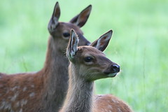 Leighton Moss Red Deer 2 (Ged Gill) Tags: leightonmoss deer red