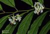 Polygala venenosa Polygalaceae (Cheng Wenda) Tags: polygala venenosa polygalaceae