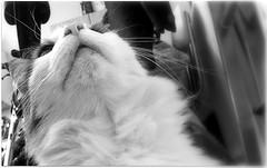 (Riik@mctr) Tags: max cat pet blackandwhite monochrome animal samsung galaxy s2 gt1900 fone
