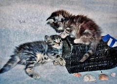 'That Chair is Mine!!' (pianocats16, miau...) Tags: kitten kitty siblings babies cute fluffy playful beach chair miniature sea shells