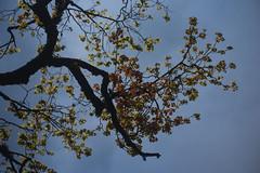 DSC_1537 (Fulcrum35) Tags: chandrashila tunganath kedar meru sumeru chopta sunset himalayas uttarakhand chaukhamba
