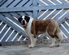 Strauss..... (isabelavistue) Tags: strauss sobernardo saintbernard dog co adoo adooumatodeamor alda protetora