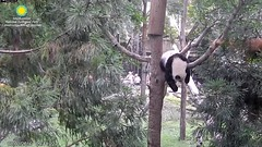 2016_08-02v (gkoo19681) Tags: beibei morningsilliness treetime treesitting dangling ccncby nationalzoo