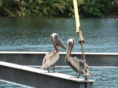 5 River Delta Alabama (60) (Stonehenge 68) Tags: 5riversdelta mobile delta wildlife alligator duck pelican water waterhyacinth hemlock snowyegret alabama