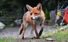 Vixie bix (lisheeny) Tags: vixen fox vulpes vulpesvulpes vulpine wildlife wild british red predator animal farm wheel barrow