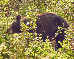 Foraging Black Bear (green2mm1) Tags: blackbear nature furry foraging