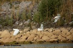 nous partons en vacances (alaincousinet) Tags: aigrette aigrettegarzette lac aude occitanie oiseaux eau acousinet alain nature paysage lacdelaguanguise canon canoneos5dmarkiii sigma sigma150600sport