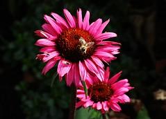 Flower (Hugo von Schreck) Tags: echinacea hugovonschreck outdoor flower blume blte macro makro tamronsp90mmf28divcusdmacro11f017 canoneos5dsr onlythebestofnature