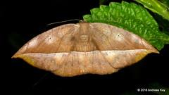 Leaf imitating Geometer Moth (Ecuador Megadiverso) Tags: birdwatcherslodge geometermoth geometridmoth geometridae leafimitating lips mindo moth andreaskay ecuador