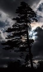Come Sta, la luna (jennyfleurdelyon) Tags: hoathwaite campsite national trust tree siolhouette coniston