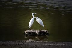 Pals (99baggett) Tags: audobon beechisland birds jackson jmb1950 nature sc silverbluffaudoboncenter southcarolina egret egrets