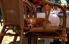 a small dog with bright eyes relaxing in a chair on the terrace of La Maison Bleue bar/brasserie, Honfleuyr, Normandy, France (grumpybaldprof) Tags: lamaisonbleue dog snooze sun sunshine bar brasserie chair seat vieuxbassin oldharbour honfleur normandie normandy france quaistecatherine quaiquarantaine quai quaistetienne stecatherine lalieutenance quarantaine water boats sails ships harbour historic old ancient monument picturesque restaurants bars town port colour bw lights reflection architecture buildings mooring sailing stone collombage halftimbered yachts rushchair brighteyes