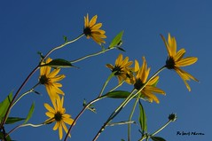 Attirs par le soleil.../Jerusalem artichoke in the sky... (Pentax_clic) Tags: imgp6395 pentax kr topinamour aout 2016 robert warren vaudreuil quebec fleur flower