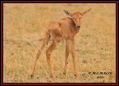 TOPI CALF  (Damaliscus lunatus jimela)......MASAI MARA......OCT 2015 (M Z Malik) Tags: nikon d3x 200400mm14afs kenya africa safari wildlife masaimara maraserena transmara exoticafricanwildlife topi ngc npc