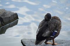 _DSC6178 (hanley.will) Tags: duck waterfowl headinsand water ruleofthirds sleep rest animal lake pond