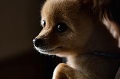 (aqugacosmo) Tags: pentax oldlens k5iis k5s takumar smctakumar55mmf18 smctakumar pomeranian dogs   smc