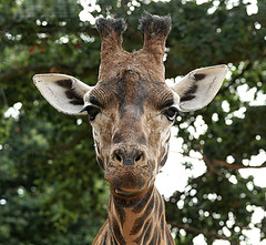 Did you just call me Bigears? (SteveJM2009) Tags: giraffe face tongue expression ears head marwell hants hampshire uk september 2016 stevemaskell naturethroughthelens