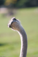 What is that noise?! (RJB10) Tags: blinkagain birds dof marwell bokeh 70200mm d300s bird highqualityanimals literoom5 ostrichhead