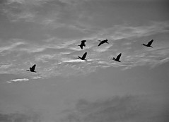 Skipping Through Clouds (The Spirit of the World) Tags: birds storks sky clouds monotone kerala backwaters india southernindia fowl nature wildlife