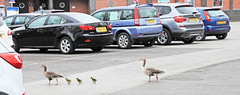Crossing Patrol (The Frantic Photographer) Tags: family geese crossing goose gosling carpark