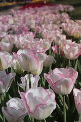 _MG_4337 (Gkmen Kmrt) Tags: flower tulip 2015 emirgan laleler