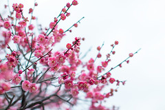 (mako_peko) Tags: pink canon 50mm spring sigma  plumblossoms   umetree eos70d